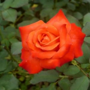 長雨のバラ…多摩川長雨シリーズ