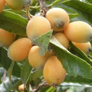 ビワの実の季節です