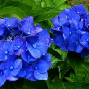 コバルトブルーの紫陽花