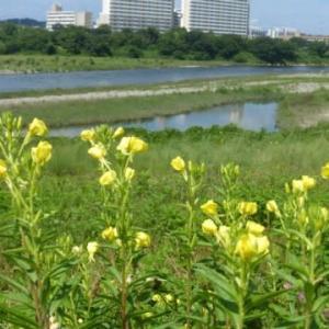 マツヨイグサが盛りです…多摩川夏景色シリーズ