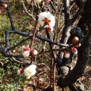 『 寒風に 春を告げるよ 梅の花 』梅川柳  こころに 明るい一途な 光が差し込む。