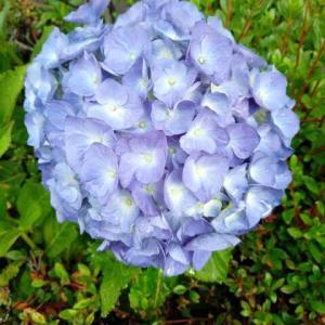 『 梅雨空に 今年も咲いた 紫陽花が 』『 歌が出る 紫陽花の雨 朝散歩 』紫陽花川柳