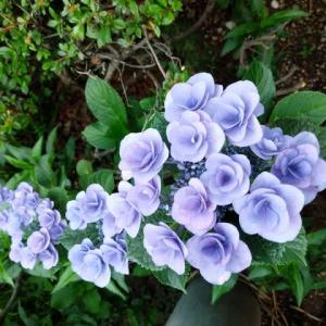 『  紫陽花が この時ばかり 輝いて 』紫陽花川柳