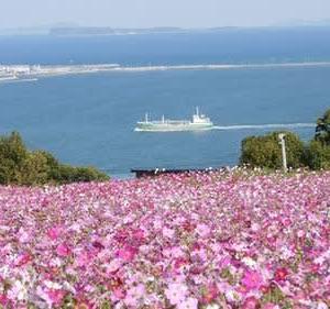 能古島のコスモス(福岡市西区能古島)