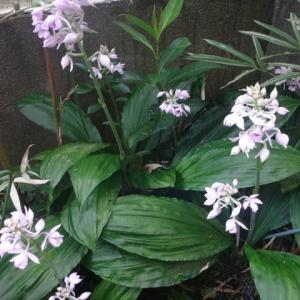 ヒマラヤえびね咲く