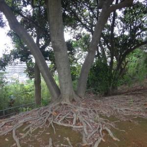 根張る樹木