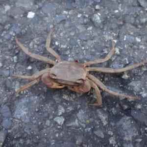 道路の真ん中に蟹