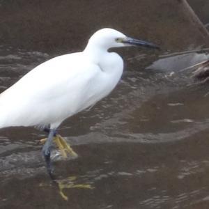 白鷺魚を捕える