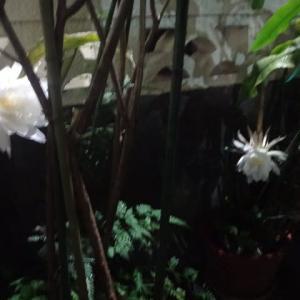 雨中の月下美人