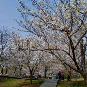 上海 顧村公園の桜
