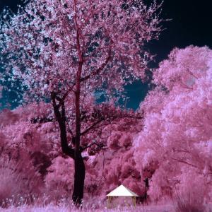 フォレストドームのある風景〜夜桜、見事なピンク色の世界
