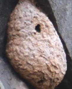 巨大スズメバチの巣激写