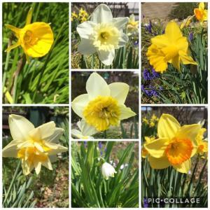 庭のお花達 水仙他