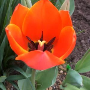 庭のお花達 チューリップ他