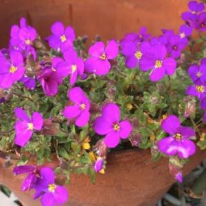 庭のお花達 オーブリエチア他