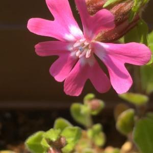 庭のお花達 フクロナデシコ他