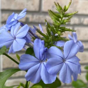庭のお花達 ルリマツリ他