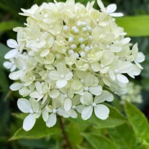 庭のお花達 ノリウツギ・リトルライム他