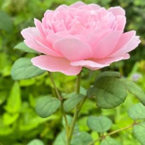 庭のお花達 薔薇・クィーンオブスウェーデン他