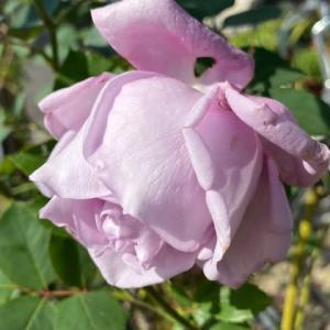 庭のお花達 薔薇ブルームーン他