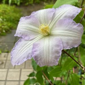 庭のお花達 クレマチス・ジリアンブレイズ他