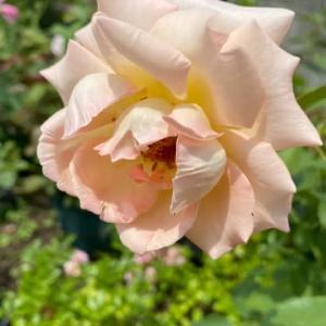 庭のお花達 薔薇・ロココ他