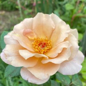 庭のお花達 薔薇・ジュリアとのんたん