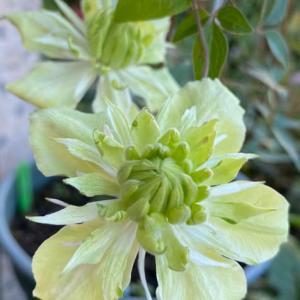 庭のお花達 クレマチス白万重他