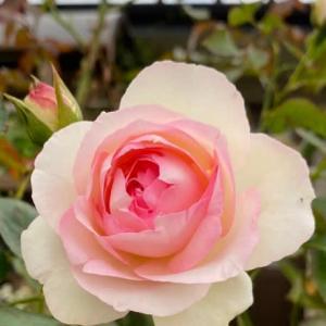 庭のお花達 薔薇・ピエールドゥロンサール他