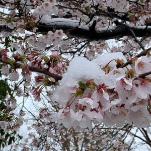 「桜に雪」