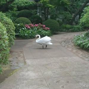 「国分寺に白鳥が」