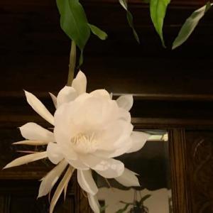 「月下美人の開花」