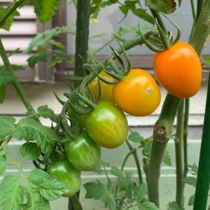 「庭の畑の野菜たち」