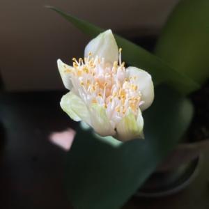 「マユハケオモトの花」