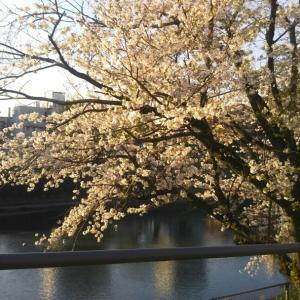 マチナカ桜その2@水道町