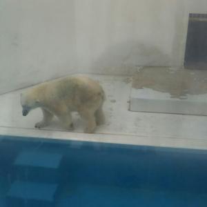 シロクマのマルル@熊本市動植物園