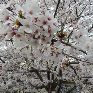 ☆ ことしの桜 ☆