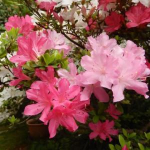☆ 三色ツツジが咲きました ☆