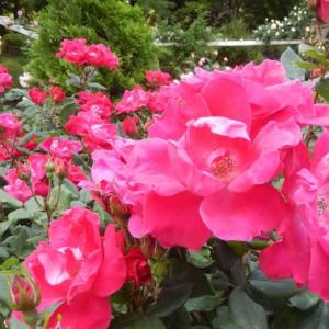 ☆ 春の薔薇を見に その2 ☆