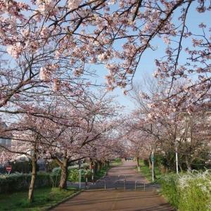 4月4日 今朝の桜と、エゾムシクイ?