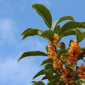 秋の芳香 キンモクセイ