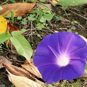アサガオ 秋に咲く