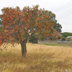 秋の柿三態