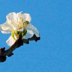 プルーン 秋に咲く
