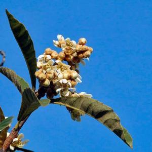 ビワの花 ユズの隣に咲く