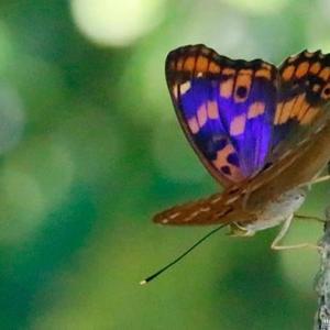 コムラサキ 閃く紫