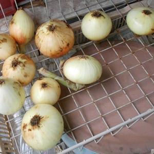 タマネギ・ジャガイモを収穫 <我が家の菜園211>