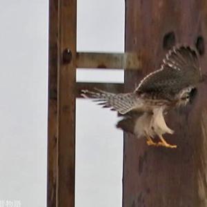 チョウゲンボウ幼鳥 カラスに狙われる