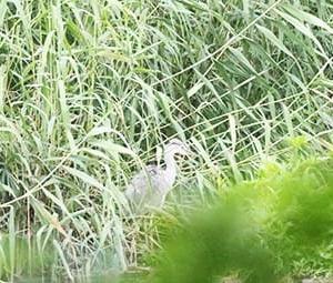 西浮島のアオサギの雛 巣を出る