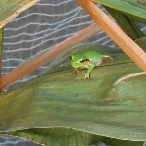 蛙は見ていた <我が家の菜園221>